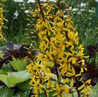 Ligularia 'The Rocket' (golden groundsel)