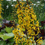 Ligularia 'The Rocket' (golden groundsel)