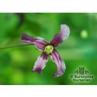 CLEMATIS integrifolia 'Pangbourne Pink'