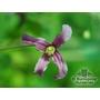 CLEMATIS integrifolia 'Pangbourne Pink'