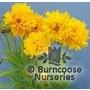 COREOPSIS grandiflora 'Sunray'