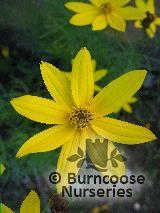 COREOPSIS verticillata 'Grandiflora'