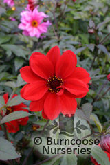 DAHLIA 'Bishop of Llandaff