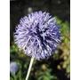 ECHINOPS bannaticus 'Veitch's Blue'