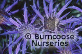 ERYNGIUM bourgatii &#x27;Picos Amethyst&#x27; 