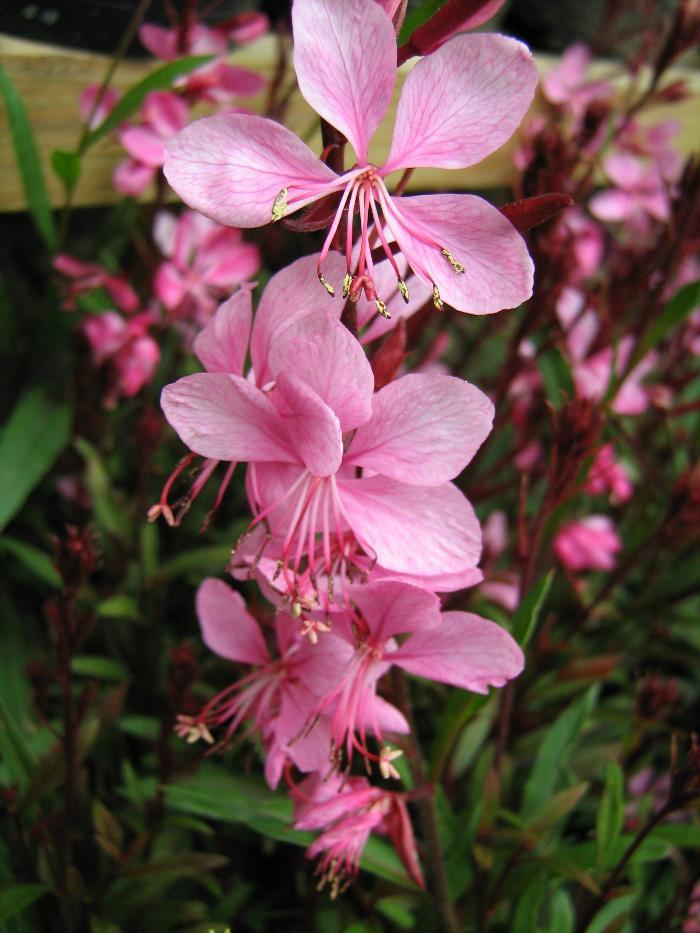GAURA lindheimeri 'Siskyou Pink'