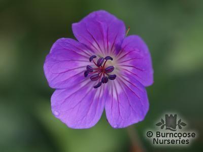 GERANIUM wallichianum 'Buxton's Variety'