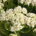 Sedum spectabile 'Stardust' (ice plant)