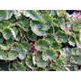 GUNNERA magellanica
