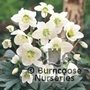 HELLEBORUS niger  