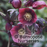 HELLEBORUS orientalis 'Red Lady'