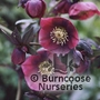 HELLEBORUS orientalis &#x27;Red Lady&#x27; 