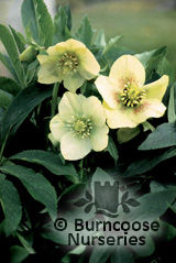 HELLEBORUS orientalis &#x27;Yellow Lady&#x27; 