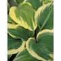 HOSTA fluctans 'Liberty'