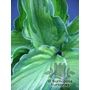 HOSTA fortunei 'Albopicta'