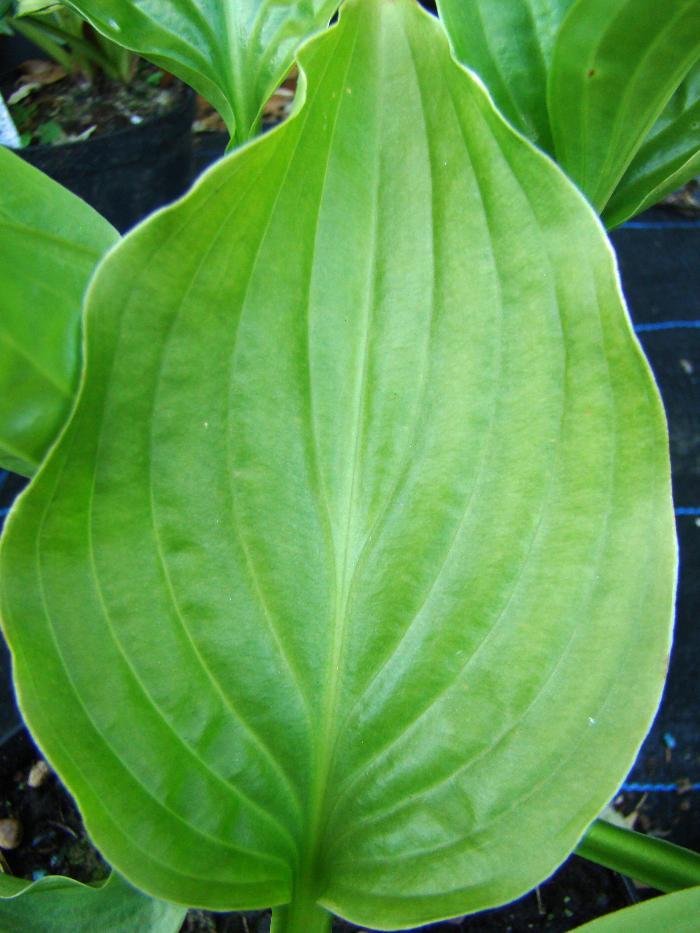 HOSTA rectifolia 'Royal Standard'