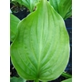 HOSTA rectifolia 'Royal Standard'