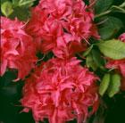 Rhododendron 'Homebush' (deciduous azalea)