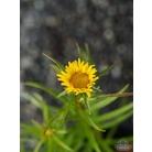 INULA ensifolia