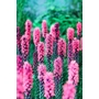 LIATRIS spicata  