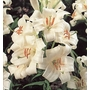 LILIUM candidum  