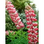 LUPINUS Herbaceous 'The Chatelaine'