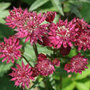 Astrantia major 'Ruby Wedding' (masterwort)