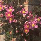 Clematis montana var. rubens 'Tetrarose' (clematis (group 1))