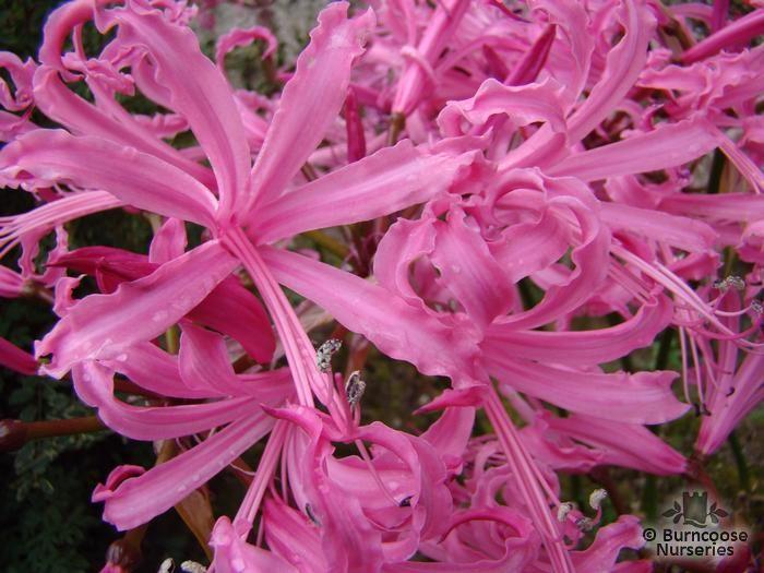 NERINE bowdenii 'Pink Triumph'