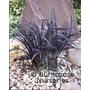 OPHIOPOGON planiscarpus 'Nigrescens'