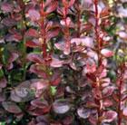 Berberis thunbergii f. atropurpurea 'Helmond Pillar' (barberry)