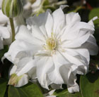 Clematis Arctic Queen ('Evitwo') (PBR) (clematis (group 2))