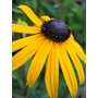 RUDBECKIA fulgida &#x27;Goldsturm&#x27;  