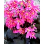 SAXIFRAGE fortunei 'Black Ruby'