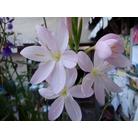 SCHIZOSTYLIS coccinea 'Pink Princess'