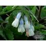 SYMPHYTUM grandiflorum 'Wisley Blue'