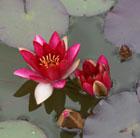 Nymphaea 'Pygmaea Rubra' (water lily)