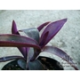 TRADESCANTIA 'Purple Sabre'