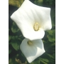 ZANTEDESCHIA aethiopica 'Crowborough'