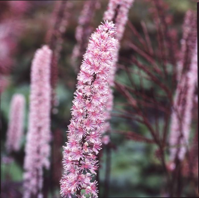 CIMICIFUGA racemosa 'Pink Spike'