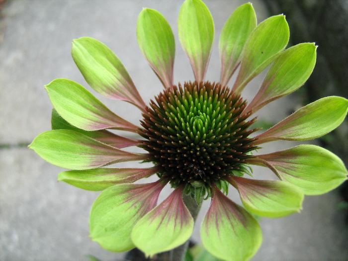 ECHINACEA purpurea 'Green Envy'