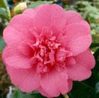 Camellia japonica 'Elegans' (camellia)
