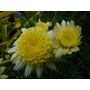 ARGYRANTHEMUM frutescens 'Pacific Gold'
