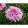 ARGYRANTHEMUM frutescens 'Summer Melody'
