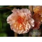 ROSA 'Great Expectations'