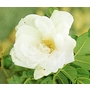 ROSA rugosa 'Blanc Double de Coulbert'