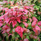 Nandina domestica 'Fire Power' (heavenly bamboo)