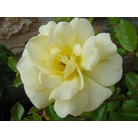 ROSA &#x27;Golden Memories&#x27;  