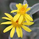Brachyglottis (Dunedin Group) 'Sunshine' (senecio)