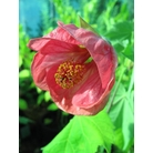 ABUTILON 'Ashford Red'